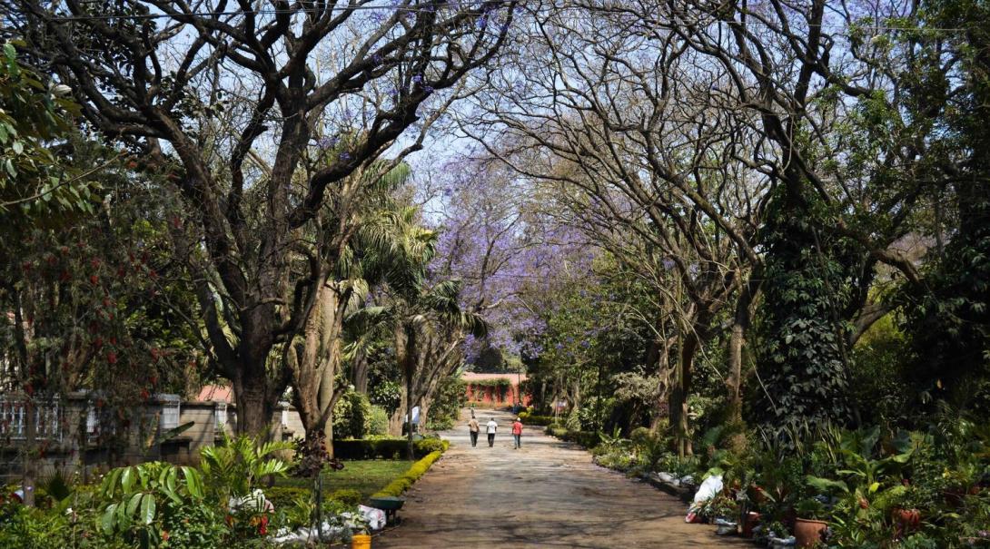 Volontär som tagit kort på jakarandaträden som kantar gatorna i Tanzania, Afrika.